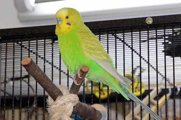 как поймать попугая вне клетки
