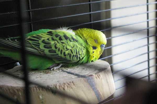 попугай спит на полочке