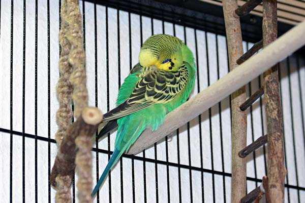 волнистый попугай спит в клетке на жердочке