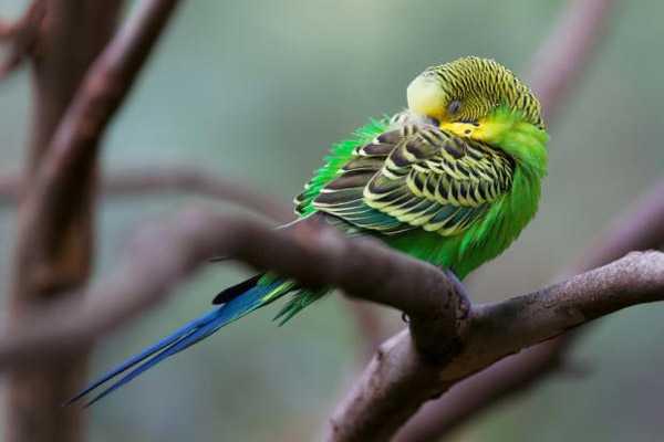 волнистый попугай спит на ветке в природе