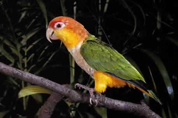 каролинский попугай изображен на ветке