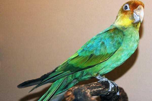 чучело каролинского попугая