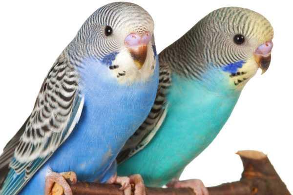 два молодых волнистых попугая сидят на ветке