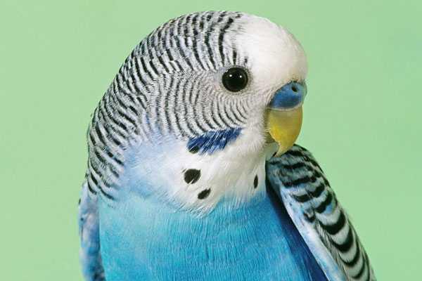 Здоровый клюв волнистого попугая