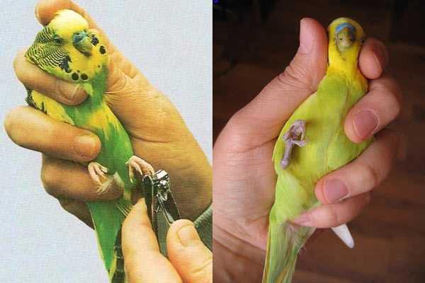 как правильно держать попугая