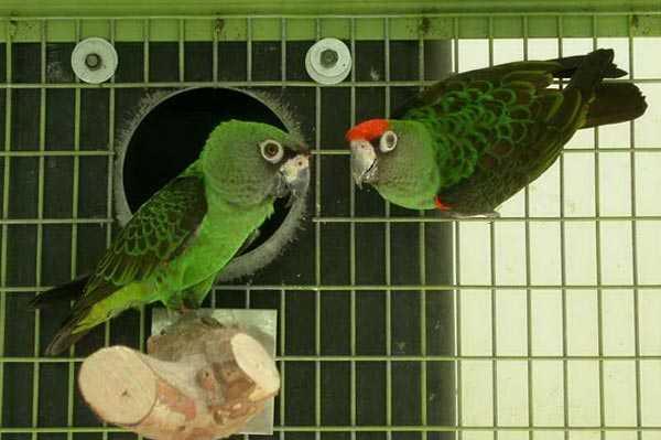 парочка конголезских попугаев в вольере