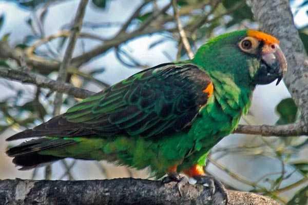 конголезский попугай в дикой природе