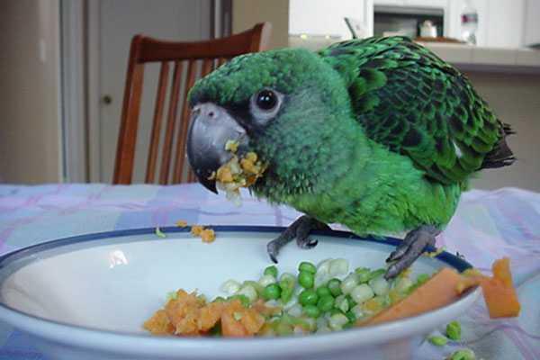 конголезский попугай ест овощи
