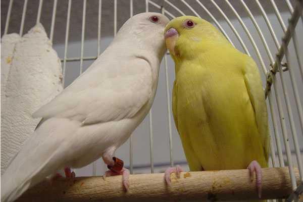 Лютино и альбино в одной клетке