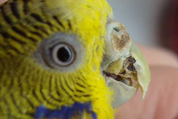 надломанный клюв у попугая