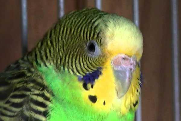 некроз восковицы у птицы