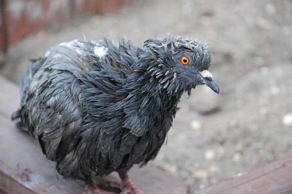 пситтакоз у голубя