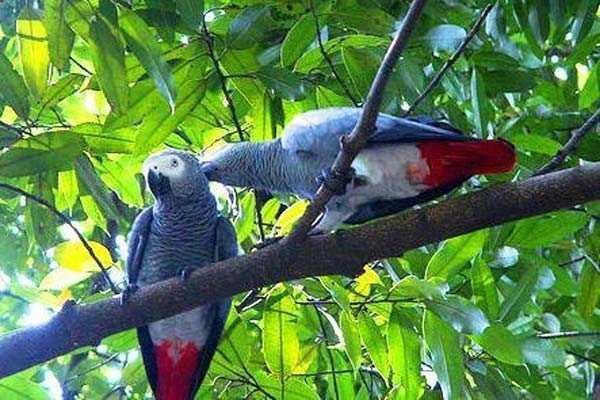 пара жако готовятся к гнездованию