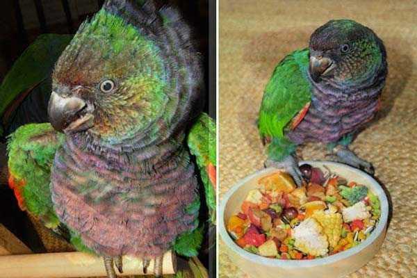 попугаи императорские едят корм