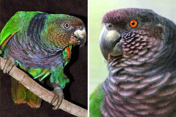 два императорских попугая амазона