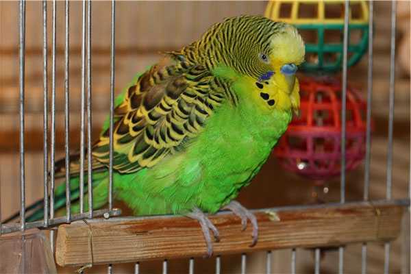 волнистый попугай заболел, сидит нахохлившись
