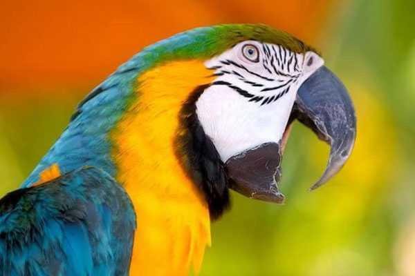 попугай ара орет