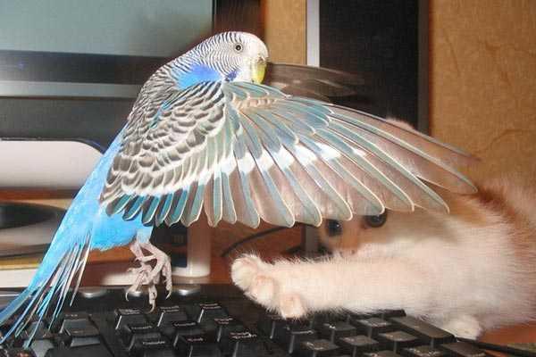 попугайчик играет с котенком
