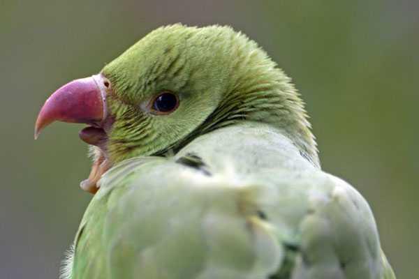 попугай кричит раскрыв клюв