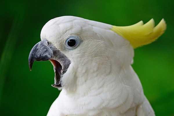 попугай какаду кричит