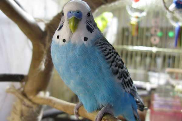 попугай сидит на жердочке и не ест, не пьет после покупки