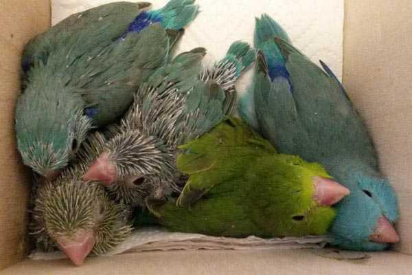 птенцы воробьиных попугаев