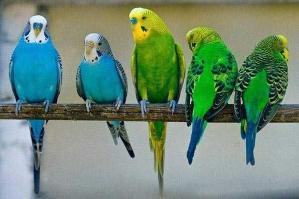 волнистые попугайики сидят, опустив вниз хвосты