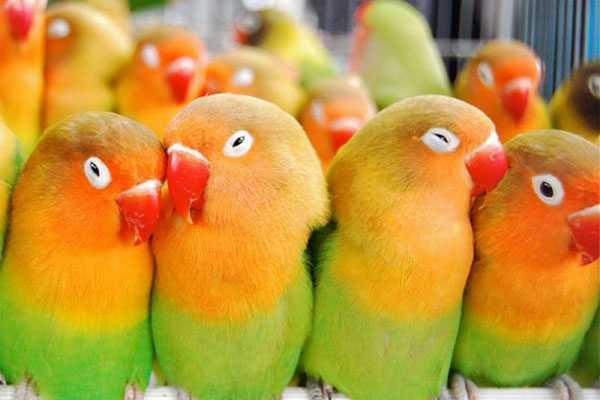 много попугаев неразлучников фишера