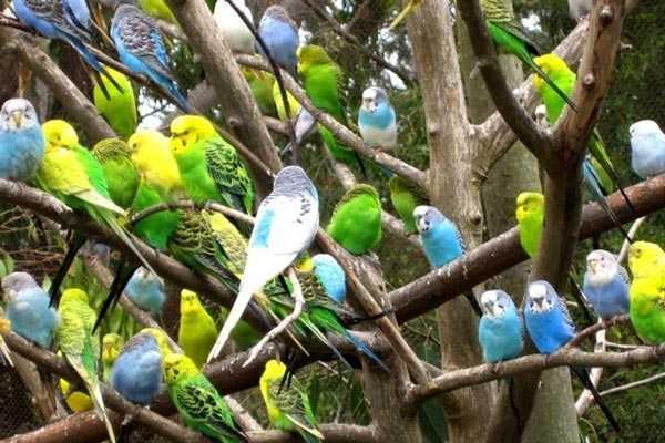 волнистые попугаи сидят на ветках  дерева