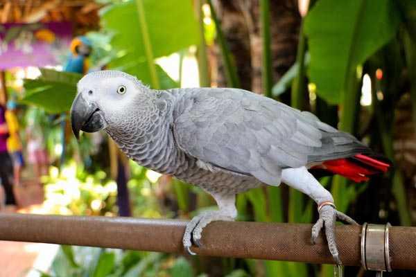 кольцо на лапке попугая