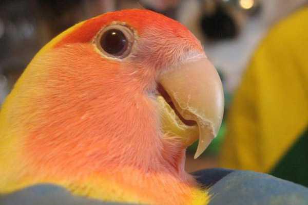 слоится клюв у попугая неразлучника