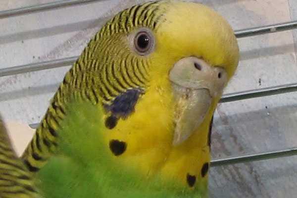 У волнистого попугая слоится клюв