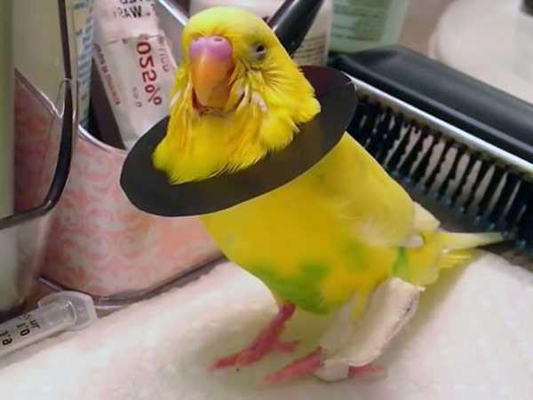 попугай сломал лапку надели ограничитель