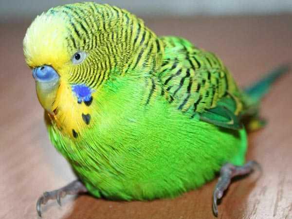 у попугая отказали лапки