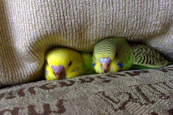 два попугая спрятались в подушках