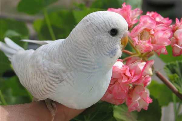 молодая самка волнистого попугая возле цветка