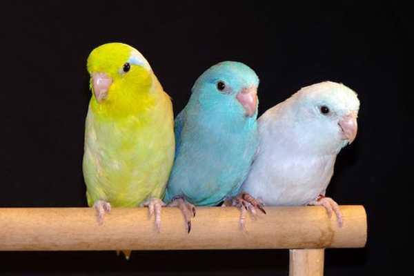 три разновидности воробьиных попугаев