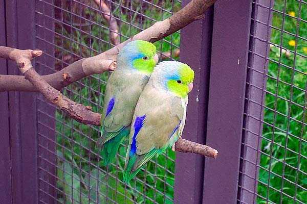 Воробьиные попугайчики лессона