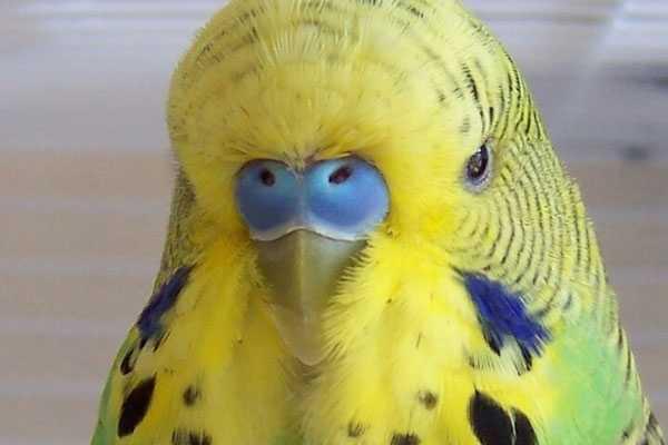 здоровая восковица волнистого попугая