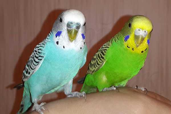 парочка любопытных волнистых попугаев
