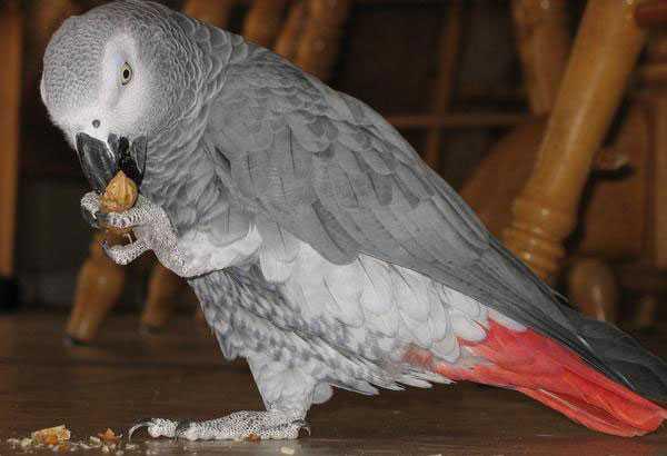 попугай ест орешек, держа его лапой
