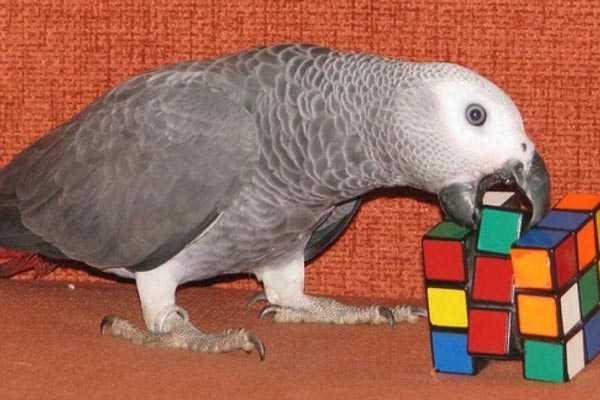 жако играет с кубиком-рубика