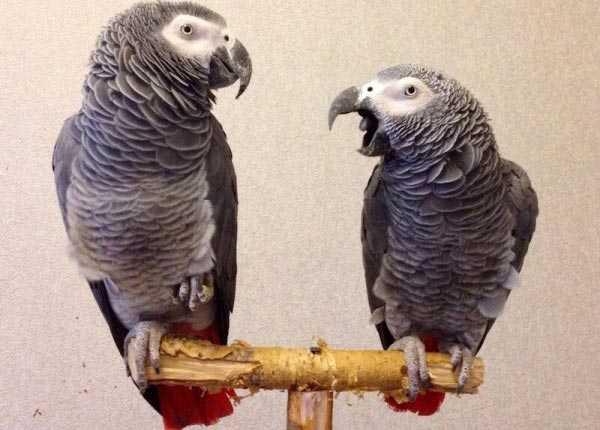 самец и самка попугаев жако