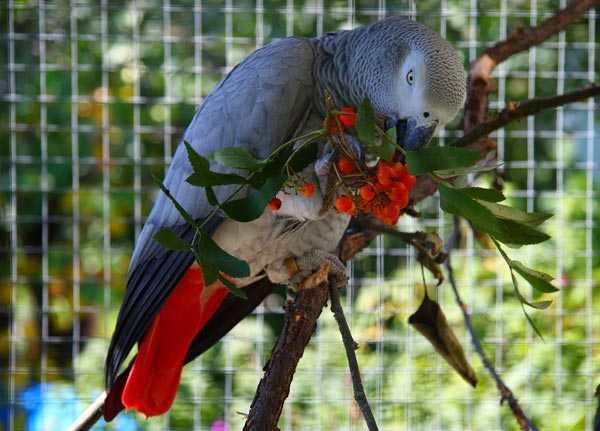 краснохвостая птица в вольере