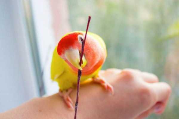 неразлучник на руке с палочкой в клюве