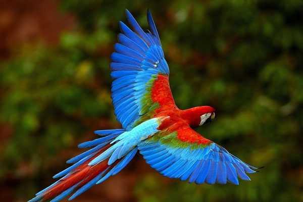Зеленокрылый попугай в полете