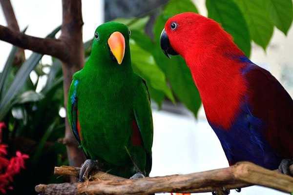 пара благородных попугаев