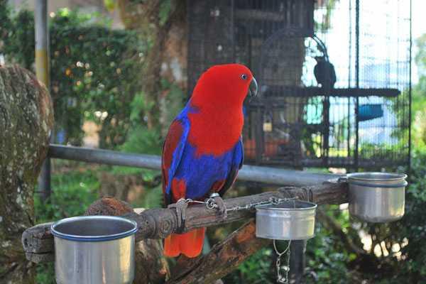 самка благородного попугая эклектус