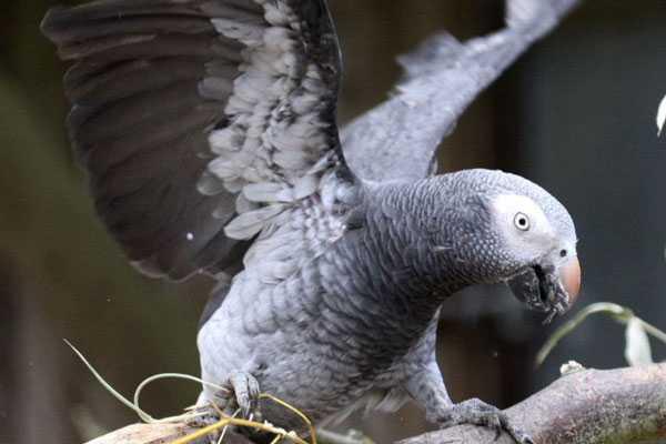 бурохвостый жако машет крыльями
