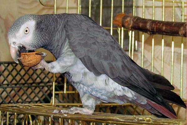 попугай ест грецкий орех